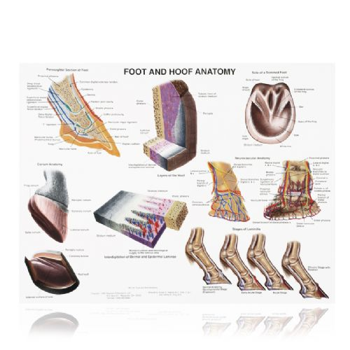 Foot & Hoof Wall chart